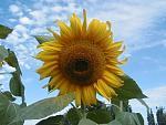 Eine bekannte Blume