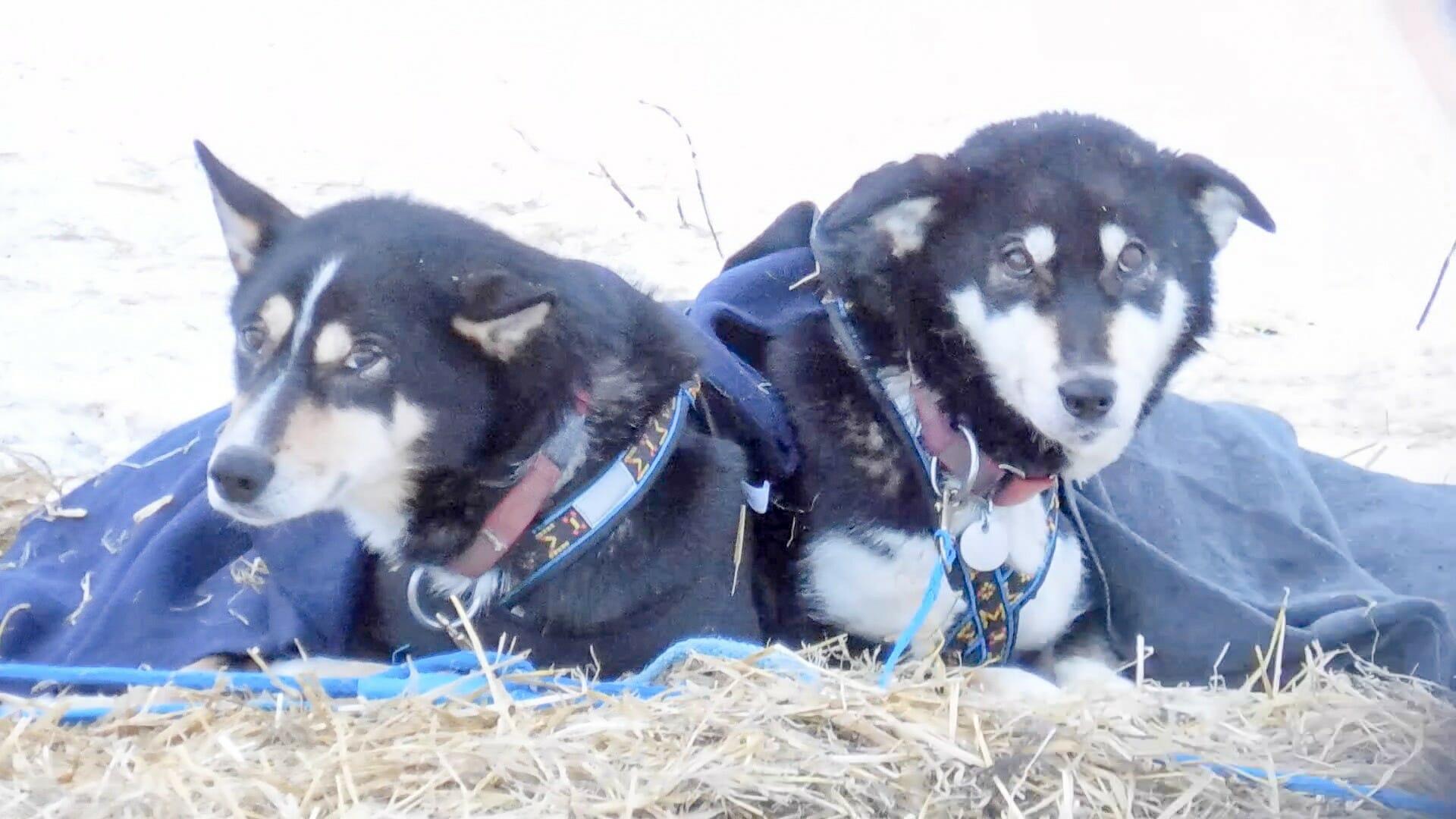 Rastende Schlittenhunde beim Yukon Quest, einem Schlittenhunderennen über 1.600 Kilometer.
